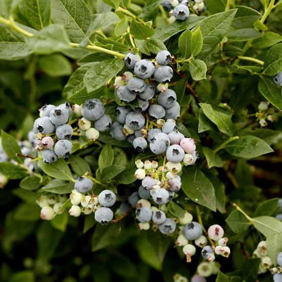 Amerikanskt blåbär 'Reka' 7cm kruka