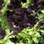 petunia-sweetunia-black-satin---3-plantor-1