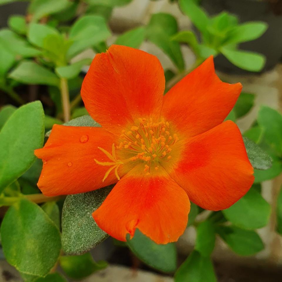 Portlak 'Mega Pazzaz Orange' 10,5cm kruka