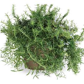 rosmarin-green-rosi-105cm-kruka-1