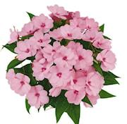 lyckliga-lotta-paradise-totoya---3-plantor-1