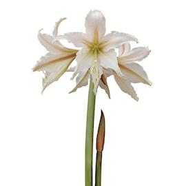 afrikansk-amaryllis-marula-1