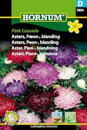 aster-pion--pink-cascade-1