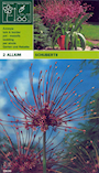 allium-schubertii-2