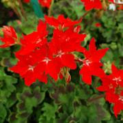zonalpelargon-special-summertwist-red-3st-sti-1