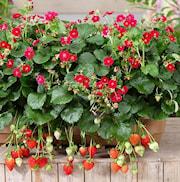 jordgubbe-ruby-ann-105cm-kruka-1