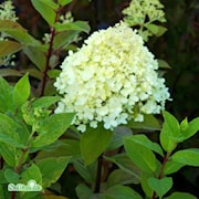 vipphortensia-limelight-50-l-co-1