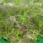 micro-leaf-bladsarepta-4