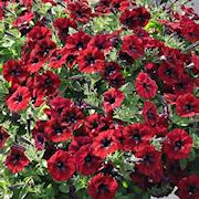 petunia-chocolina-105cm-kruka-1
