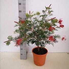 grevillea-robyn-gordon-22cm-kruka-1