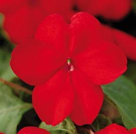 flitiga-lisa-dezire-red-9cm-kruka-1