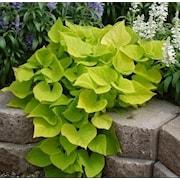 batata-sweet-heart-light-green-105cm-kruka-1