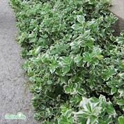 kltterbenved-emeraldn-gaiety-2-3l-kruka-1