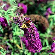 syrenbuddleja-nanohe-purple-3-35-l-kruka-1