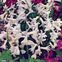 hyacint-white-festival-1