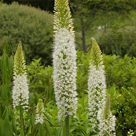 hybridstpplilja-white-1st-1