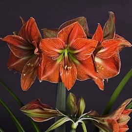 amaryllis-terra-cotta-star-1st-1
