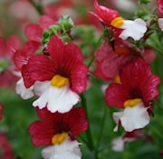 nemesia-sunsatia-plus-cherry-on-ice-105cm-kru-1