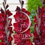 gladiolus-merlot-ice-7st-1