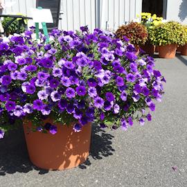 petunia-mini-vista-violet-105cm-kruka-1
