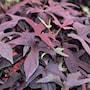 batata-sweet-caroline-purple---3-plantor-1