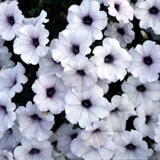 petunia-conchita-blueberry-frost---3-plantor-1
