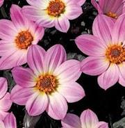 dahlia-happy-days-pink-105cm-kruka-1