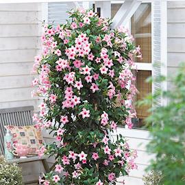 bgarranka-sundaville-cream-pink-105cm-kruka-1