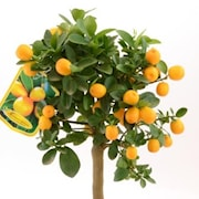 kumquat-stam-15-20-frukter-ministam-1