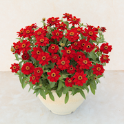 zinnia-profusion-red-105cm-kruka-1