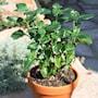 mushroom-plant-12cm-kruka-2