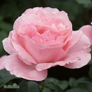 storblommig-ros-queen-elisabeth-20cm-kruka-1