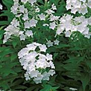 hstflox-fujiyama-9cm-kruka-1