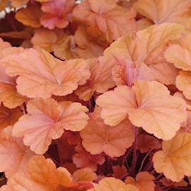 alunrot-timeless-orange-12cm-kruka-1