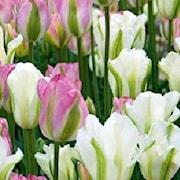 tulpanpaket-groenland-spring-green-1