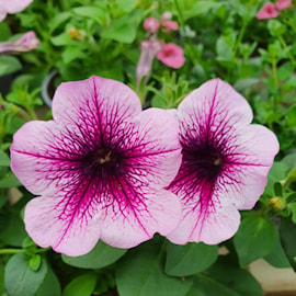 petunia-sanguna-rose-vein-12cm-kruka-1