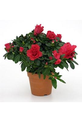 azalea-nr2-rd-10cm-kruka-1