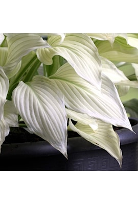 hosta-white-feather-1st-barrotad-1