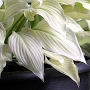 hosta-white-feather-1st-barrotad-1