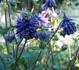 akleja-blue-barlow-3-st-1