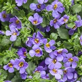 snflinga-enkel-lavender-1