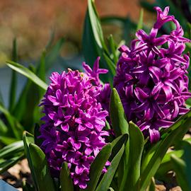 hyacint-woodstock-3st-1