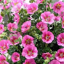 rumsmalva-lady-in-pink-105cm-kruka-1
