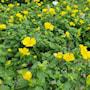 mecardonia-magic-carpet-yellow-105cm-kruka-2