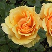 rabattros-amber-queen-barrotad-1