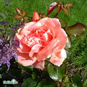 modern-buskros-sweet-fragrance-c4-1