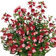 nemesia-sunsatia-berry-delight---3-plantor-1
