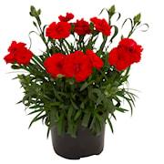 trdgrdsnejlika-code-bright-red-105cm-kruka-1