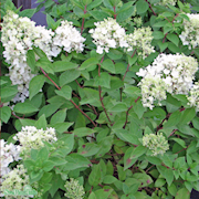 vipphortensia-compacta-c5-1