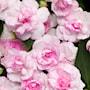flitiga-lisa-fiesta-appleblossom-9cm-kruka-1